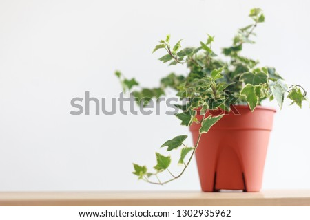 English Ivy plant in pot on wood table