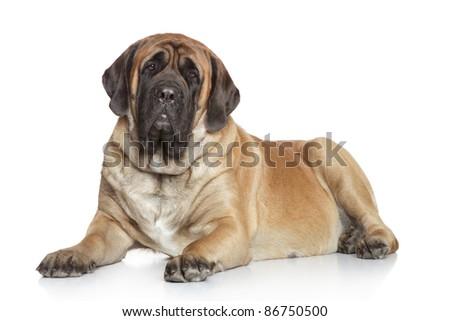 English Mastiff lying on a white background