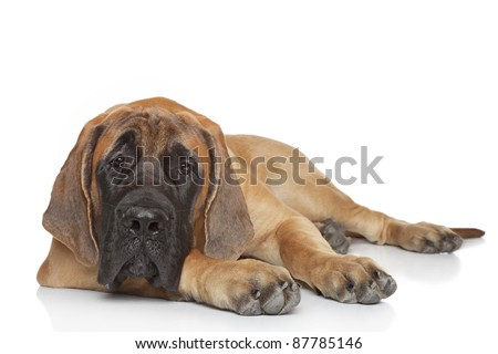 English mastiff pup (5 month) lying on a white background