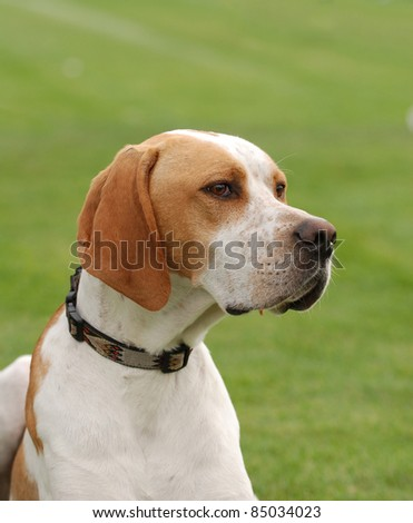 English Pointer dog puppy portrait in garden