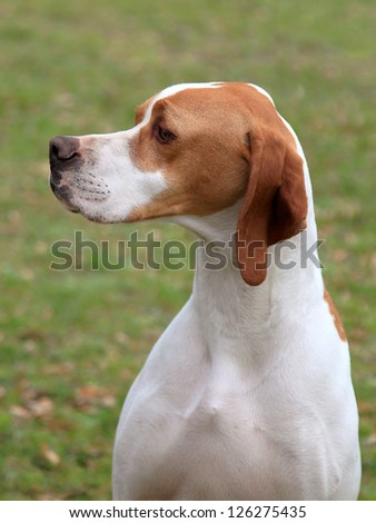 English Pointer (hunter dog) on the meadow
