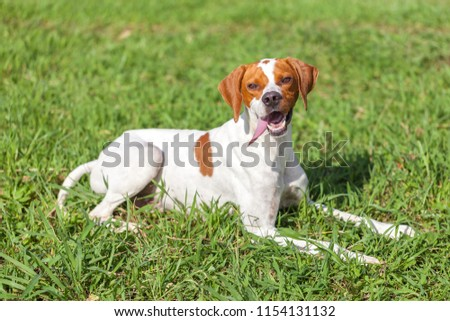 English pointer sits on the grass, animals world.
