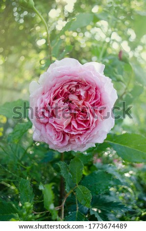 English rose in garden. English pink rose in the summer garden.