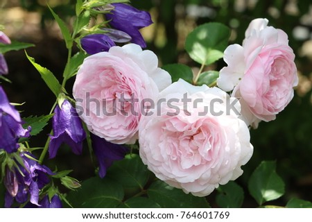 english rose in pink Olivia Rose Austin and bell flowers