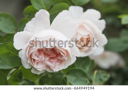 English rose - Mary rose #664949194