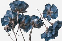 English rose on a white background, a branch with buds of dark blue color.