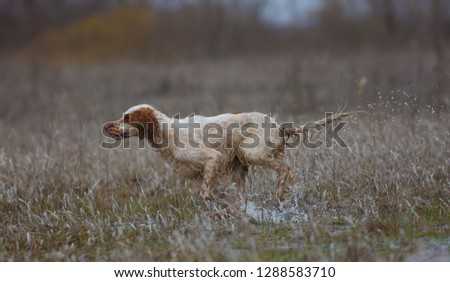 English setter. Hunting dog. On hunting with an English setter. The dog runs on water. #1288583710