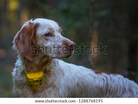 English setter. Pointing dog. Hunting dog. Portrait of a hunting dog on hunting.  #1288768195