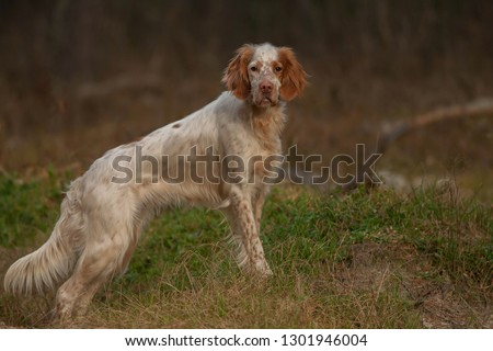 English setter. Pointing dog. Hunting dog. Portrait of an English setter on a real hunt. #1301946004