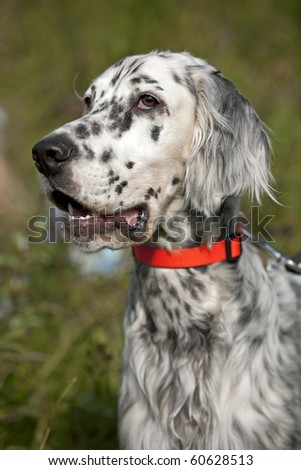 english setter portrait with hunting collar
