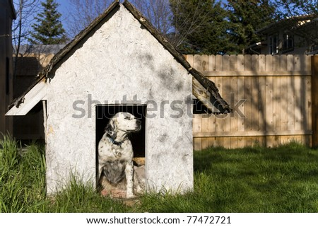 English Setter sitting in a weathered dog house.