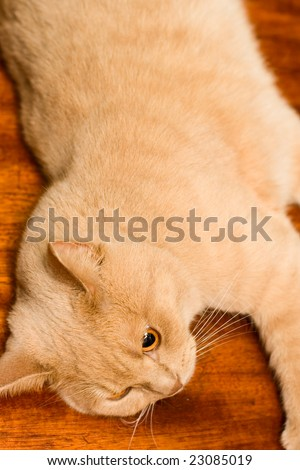 English sleek-haired cat