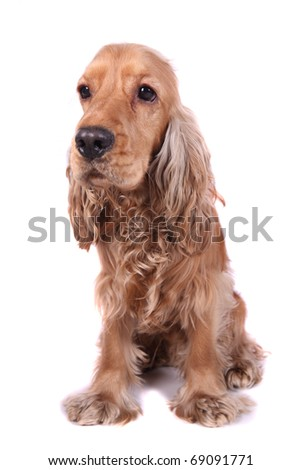 English spaniel with a white background