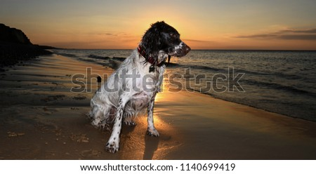 English Springer at the seaside sunset #1140699419