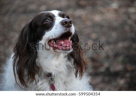 English springer dog looking happy in a park. #599504354
