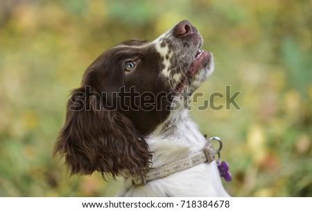English Springer puppy. #718384678