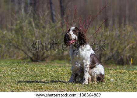 english springer spaniel - stock photo