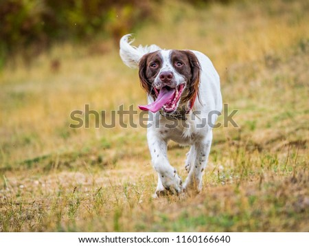 English Springer Spaniel Dog running towards camera with tongue handing out having fun #1160166640