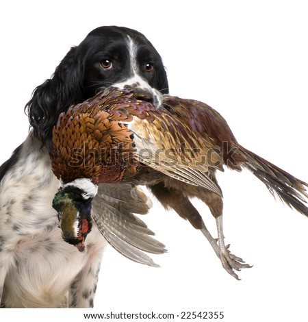 English Springer Spaniel  hunting (1 year) in front of a white background