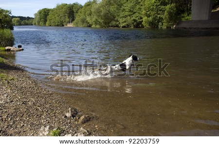 English Springer Spaniel jumping into the river