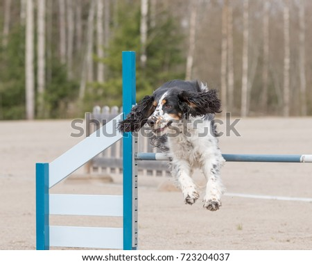 English Springer Spaniel jumps over an agility obstacle in agility competition #723204037