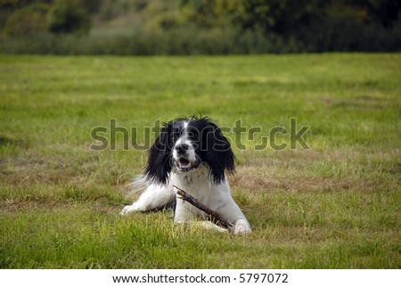 English springer spaniel lying down on the grass in a large field playing with a stick on a nice sunny day.
