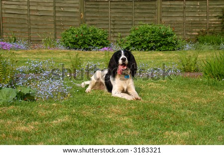 English springer spaniel lying down on the grass with bluebells in the background.