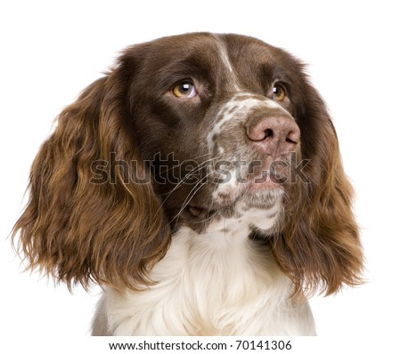 English Springer Spaniel, 10 months old, in front of a white background