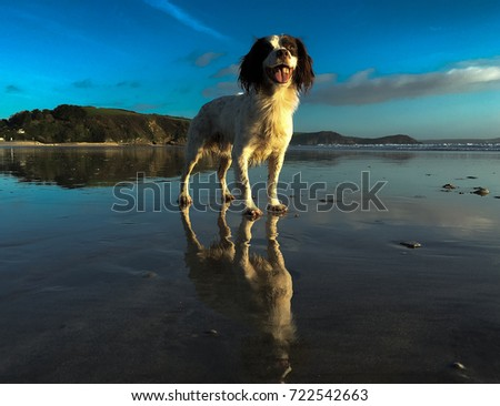 English springer spaniel on the beach #722542663