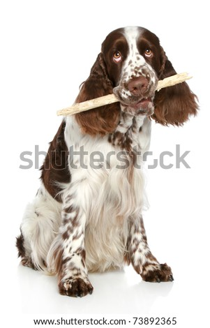 English Springer Spaniel playing with a stick on a white background