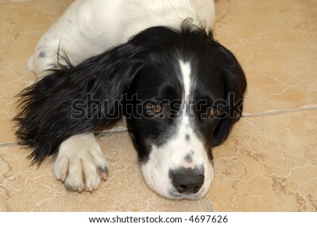 Springer Spaniel Puppies on Stock Photo   English Springer Spaniel Puppy Lying Down On The Floor