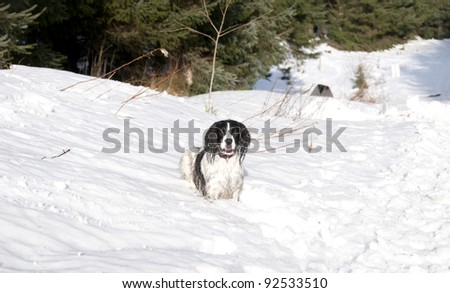 English Springer Spaniel running and jumping in the snow on a sunny winter day