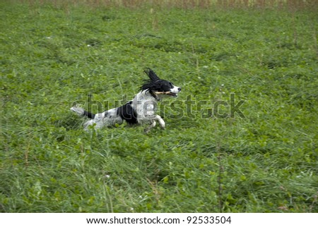English springer spaniel running through the long grass with a stick in his mouth