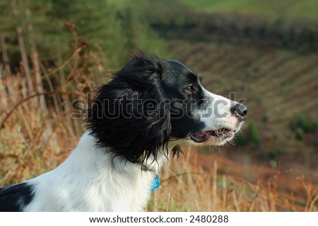 English springer spaniel sitting down looking out over the countryside.