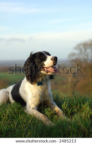 English springer spaniel sitting down looking out over the countryside.Portrait view with copy space.