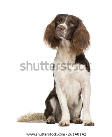 English Springer Spaniel (2 years) in front of a white background