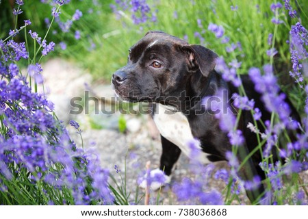 English Staffordshire bull terrier dog #738036868