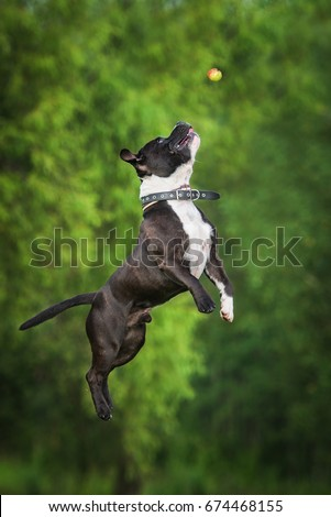 English staffordshire bullterrier dog jumps to catch a ball #674468155
