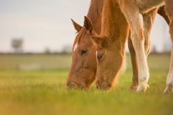 English Thoroughbred horse, mare with foal grazing together at sunset in a meadow. Family concept. No people with copyspace.