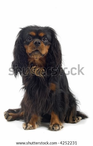 English Toy Spaniel sitting down facing the camera #4252231