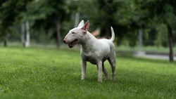 English white bull Terrier standing on a green lawn.