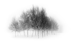English winter: Isolated trees on white background in a foggy day