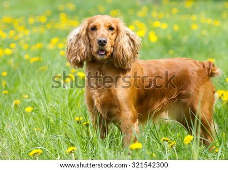 Englishl cocker spaniel on the  grass #321542300