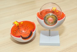 Enlarged anatomical eye model. Eye anatomy, human eye cross section physiology, cornea model from plastic on wooden table in modern clinic.