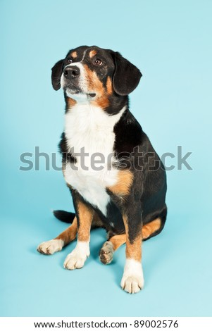 Entlebucher Mountain Dog isolated on light blue background