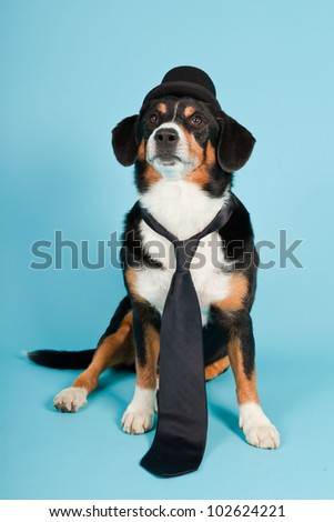 Entlebucher Mountain Dog wearing hat and tie isolated on light blue background. Studio shot.