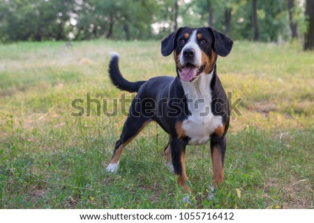 entlebucher sennenhund dog - entlebucher sennenhund. two dogs walk in the park, gnaw a stick and lie on green grass. summer day. the animal looks at the camera and on the side.