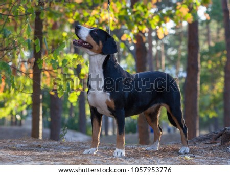 Entlebucher Sennenhund. dog - entlebucher sennenhund. two dogs walk in the park, gnaw a stick and lie on green grass. summer day. the animal looks at the camera and on the side.