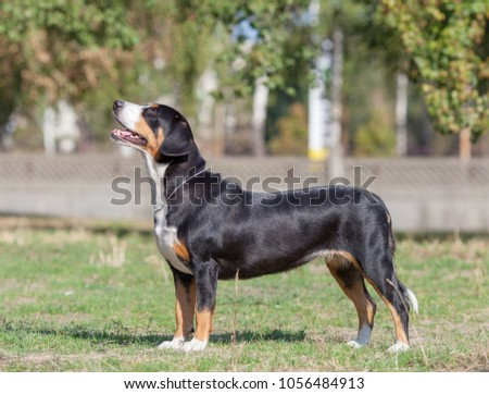 Entlebucher Sennenhund. the dog is standing in the park on the green grass. Portrait of an Enlebus. The dog walks in the forest on a summer sunny day.