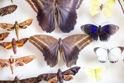 entomology. collection of tropical butterflies to study science entomology.